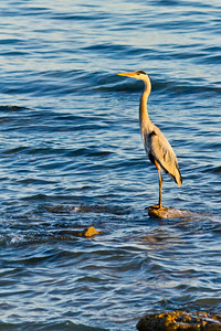 Great Blue Heron - Puerto Penasco, Sonora Mexico