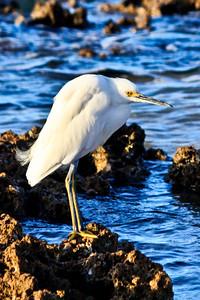 Snowy Egret, Don't I look Grumpy?