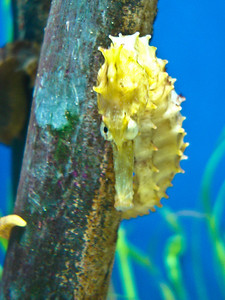 Sea Horse - Yellow