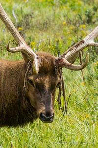 Rasta Elk 2