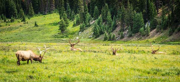 4 Bull Elk