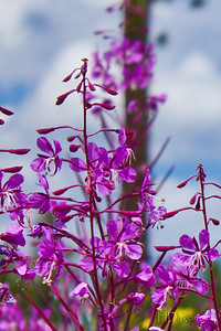 Fireweed 2 - In Summit County, CO