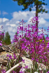 Fireweed- In Summit County, CO