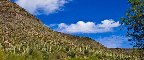 Saguaro Concentration - Tonto National Forest