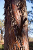 Shaggy Bark Juniper