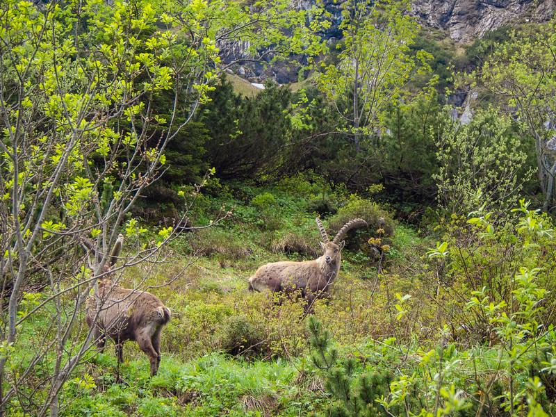 Ibex Pair, Tölzer Alps, Bavaria