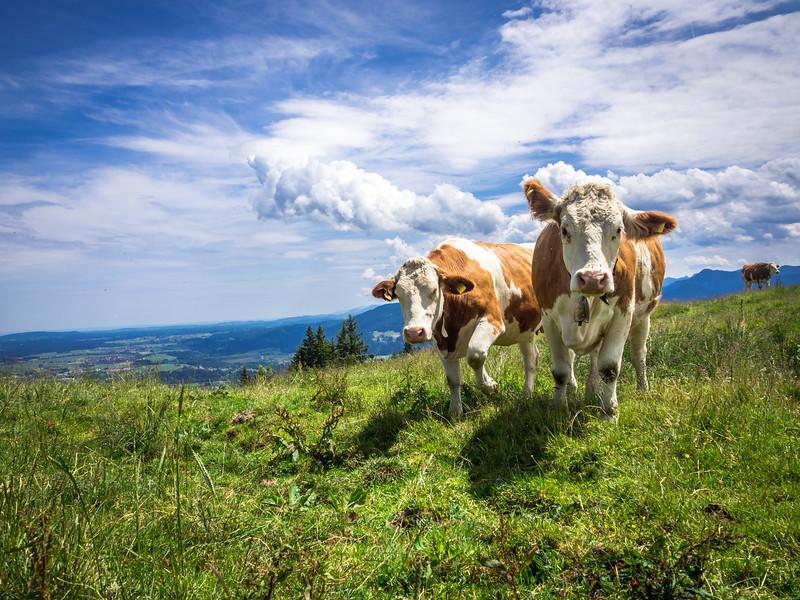 Bavarian Cows, Blomberg, Bavaria, Germany