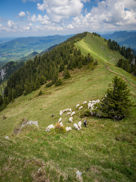 Sheep on the Slopes, Tölzer Alps, Bavaria