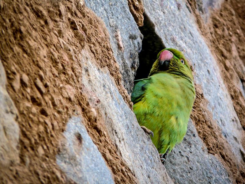 Parrot Peeking, Qutb Minar, Delhi