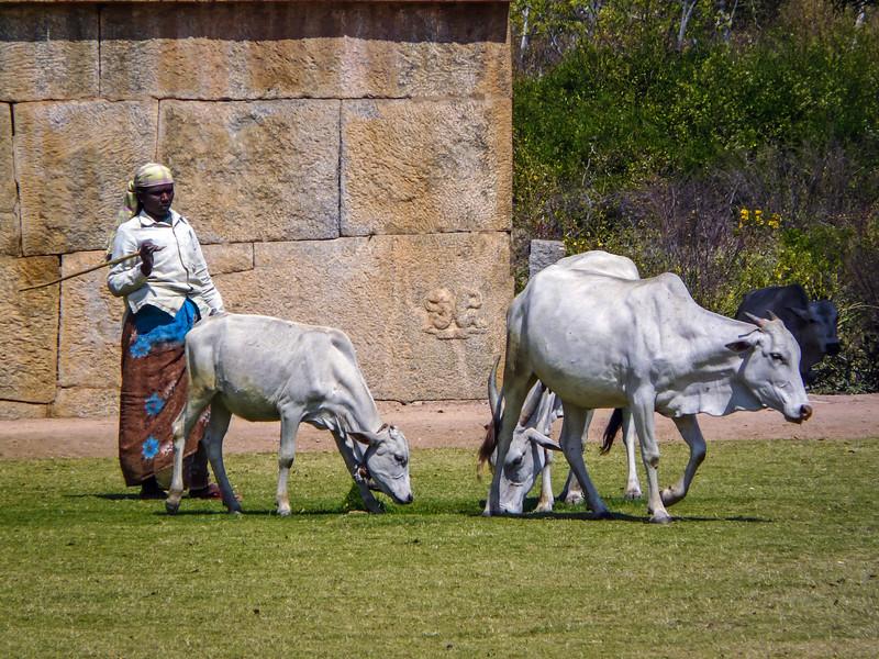 Cow Herding, Hampi