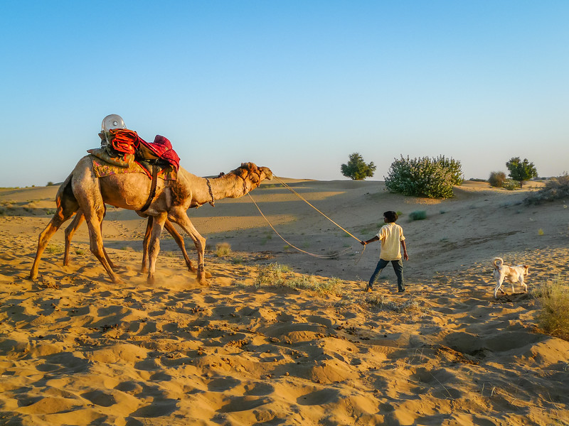 Leading the Camels Out of the Dunes, Thar Desert, India