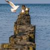 Gulls on the Piers, Warnemünde