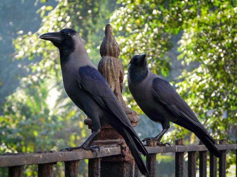 House Crows, Mumbai, India