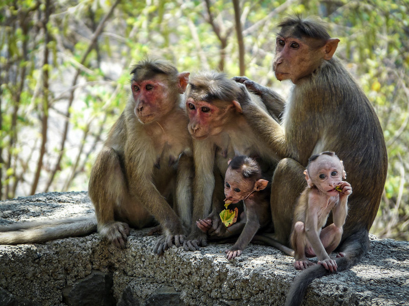 Monkey Mammas and Babies, Elephanta Island, India