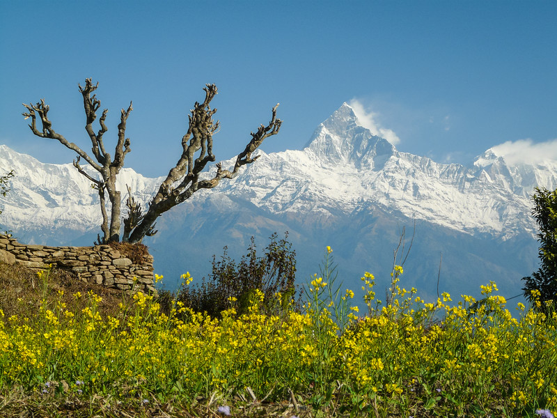 Machapuchare with Mustard Flowers and Funky Tree, Sarangkot