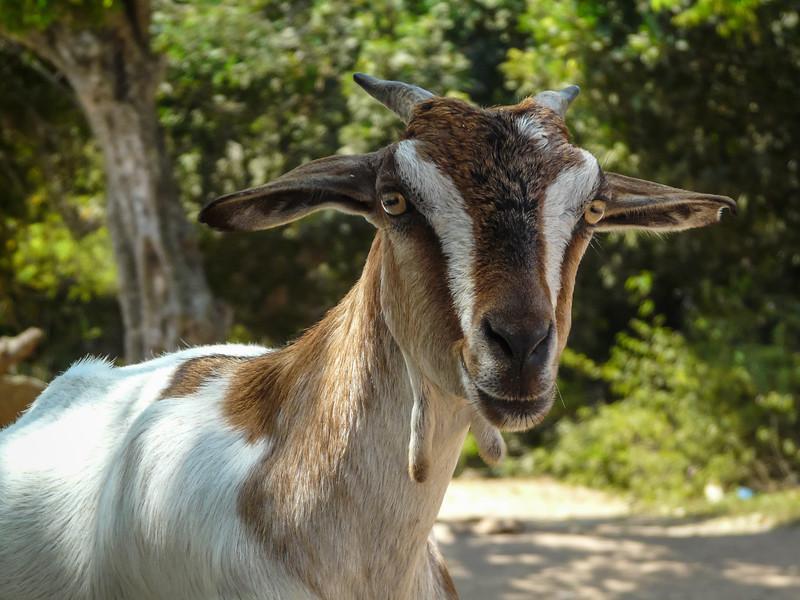 Hi There, I'm a Goat, Mamallapuram, India