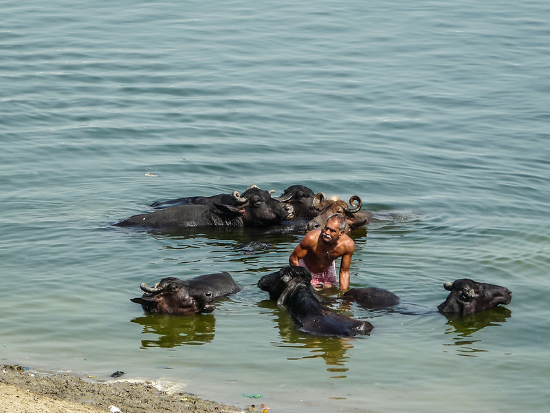 Washing the Buffalos, Varanasi