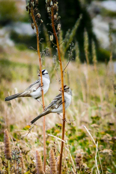 White Crowned Sparrow Pair, Alta