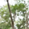Argiope aurantia (Black and Yellow Garden Spider)