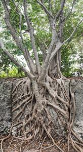 Banyan Tree climbing into the quarry