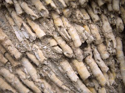 Cladocora caespitosa