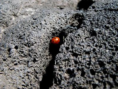Ladybug on basalt