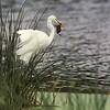 Great Egret Catches Baby Moorhen