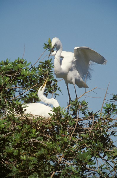 Great Egret Courtship