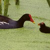 Common Moorhen and Chick in Duckweed