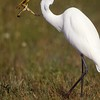 Great Egret Catches Pig Frog