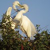 Great Egrets - Courtship & Nest Building
