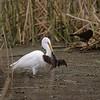 Great Egret Catches Sora