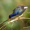 Purple Gallinule in Fireflag