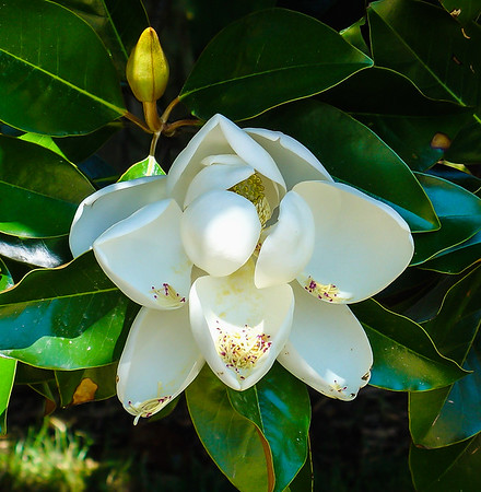 Magnolia, George Washington's Mount Vernon, VA