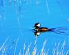 Wetlands ducky