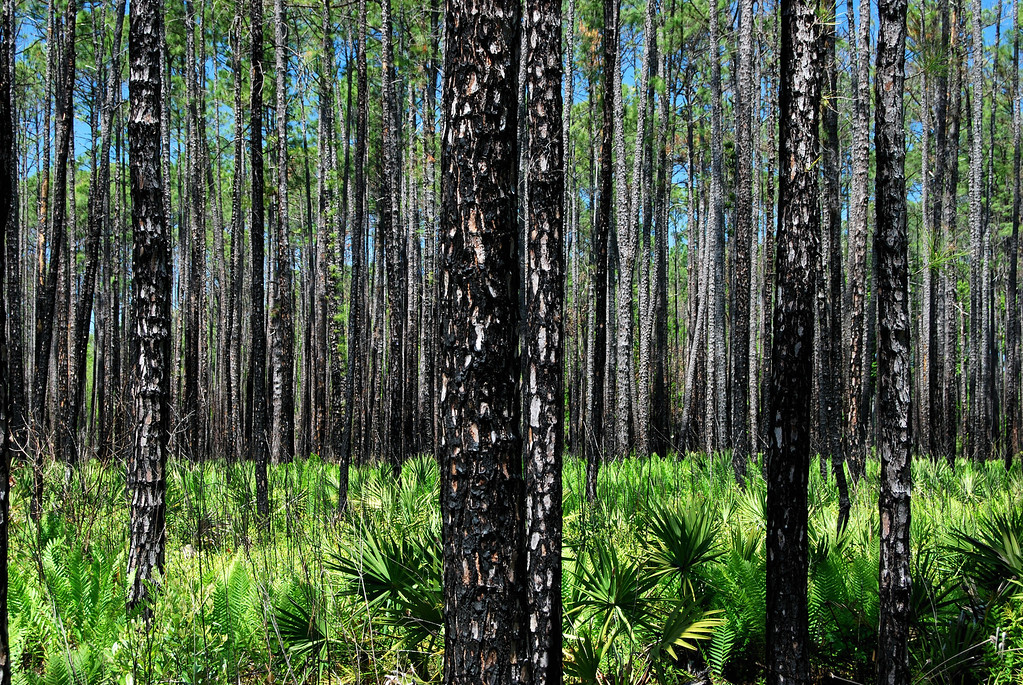 Chesser Island, Okefenokee National Wildlife Refuge (Charlton County, GA). 2008<br /> <br /> The scars of the massive wildfire of 2007 are still visible on Chesser Island in the Okefenokee NWR, about 10 miles west of Folkston. Wildfires are a common and necessary occurence in the swamp but a chain of events led to the largest wildfire in the history of both Georgia and Florida, the largest wildfire to occur outside of Alaska, and the most expensive wildfire ever for the U.S. Fish and Wildlife Service ($ 30 million).<br /> <br /> On April 16, 2007, a tree fell on a power line in Waycross and started a fire which, due to drought conditions, low humidity and high winds quickly spread and entered the Okefenokee NWR four days later. There it combined with a wildfire that had started a week earlier inside the swamp. By April 30, the fire had consumed 80,000 acres (320 qkm), 20 % of which were in the refuge. By May 9, 116,000 acres (469 qkm) had been burned within the triangle formed by Waycross in the north, Fargo in the west and Folkston in the east. The next day, sub-tropical storm Andrea crossed over bringing with it more wind but unfortunately, very little rain. As a result, the fire spread to northern Florida. <br /> <br /> A separate fire started on the Okefenokee's Bugaboo Island on May 8; it spread extremely fast and soon combined with the Waycross fire. Eventually, these fires burned more than 600,000 acres (2,400 qkm) of the Okefenokee region in three months. Essentially all of the swamp burned, though the degrees of impact vary widely.  <br /> <br /> During the time of these fires, smoke blanketed much of South Georgia and sometimes drifted as far north as Atlanta (300 miles) and as far south as Orlando (250 miles).