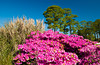 Azalea shrubs and grasses on Jekyll Island, Golden Isles, Georgia, USA.
