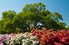 Azalea shrubs and live oak trees on Jekyll Island, Golden Isles, Georgia, USA.