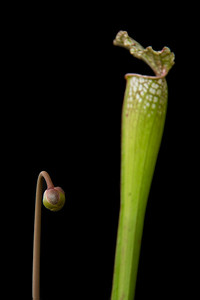 Pitcher Plant about to bloom