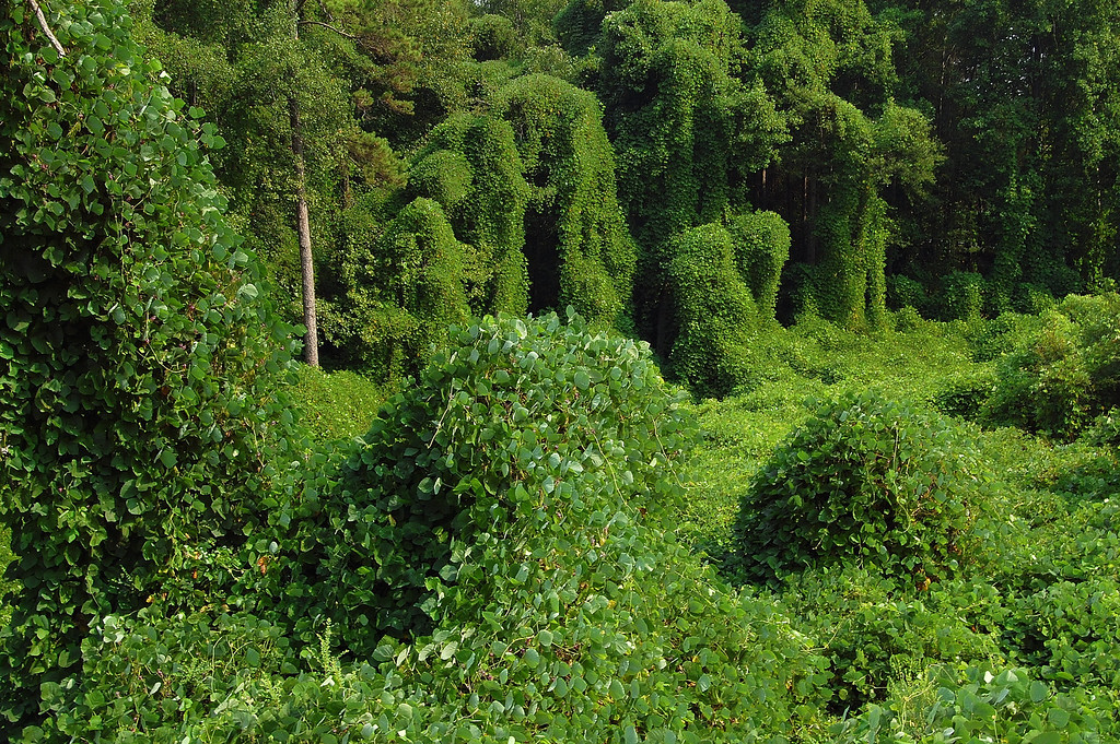 Kudzu along GA 51, Homer, GA (Banks County). Copyright 2007