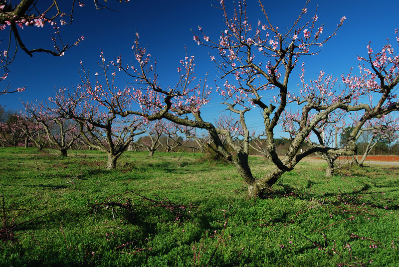 Peach trees in bloom, Oconee County (GA) 2008