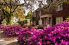 Historic homes with azalea bushes in the springtime in Savannah, Georgia, USA, America.