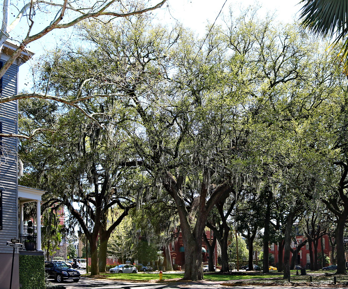 Historic Square Live Oak Trees