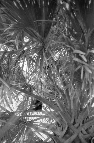 Tybee Island, Georgia, black and white, plant,