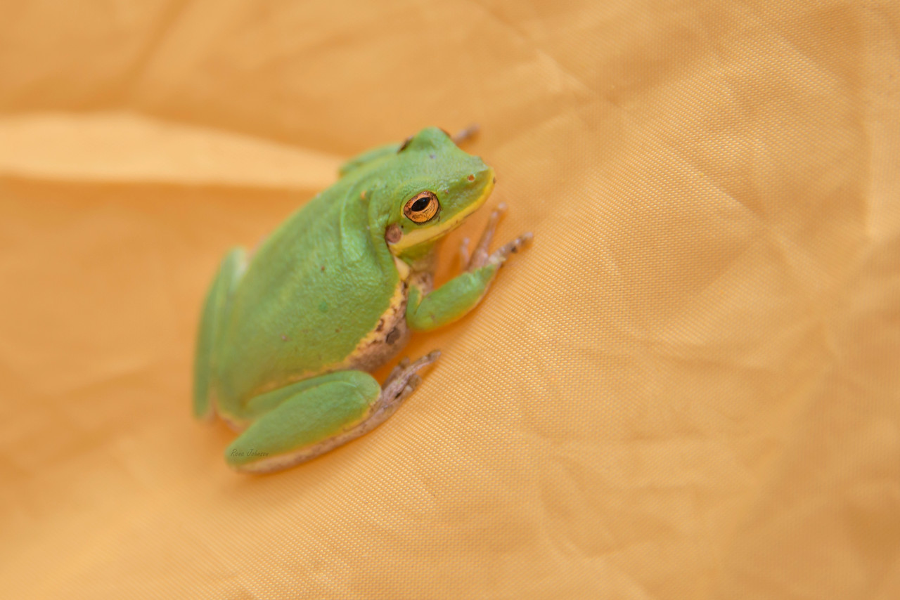Infamous Tent Frog