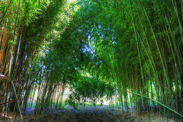 A thicket of bamboo almost blocks the sun from penetrating to the ground.
