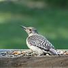 Red-Bellied Woodpecker (juvenile)