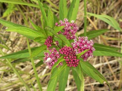 swamp_milkweed