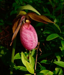 Mocassin Flower