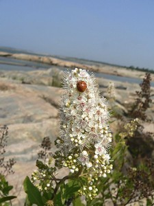 Meadowsweet with ladybug